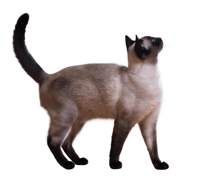 Standing Siamese cat. Isolated on white royalty free stock photo