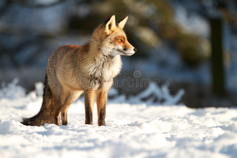 Standing in the snow. A photo of Fox in the snow royalty free stock image