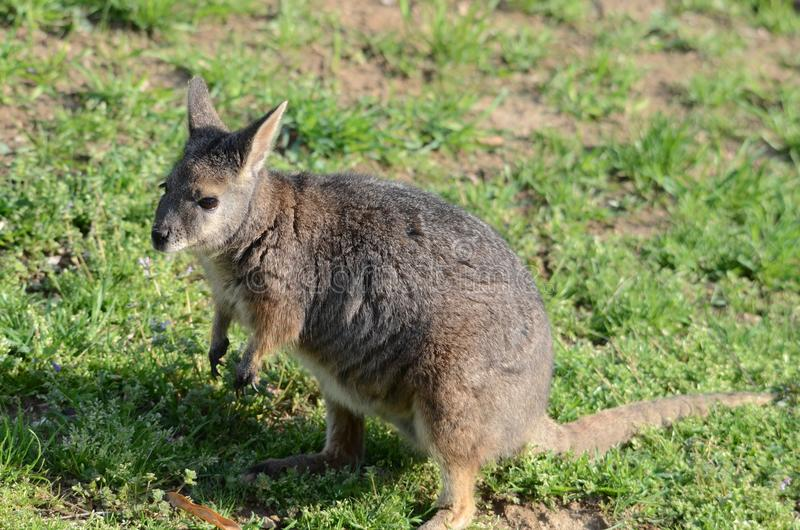 Standing Tammar Wallaby Royalty Free Stock Image