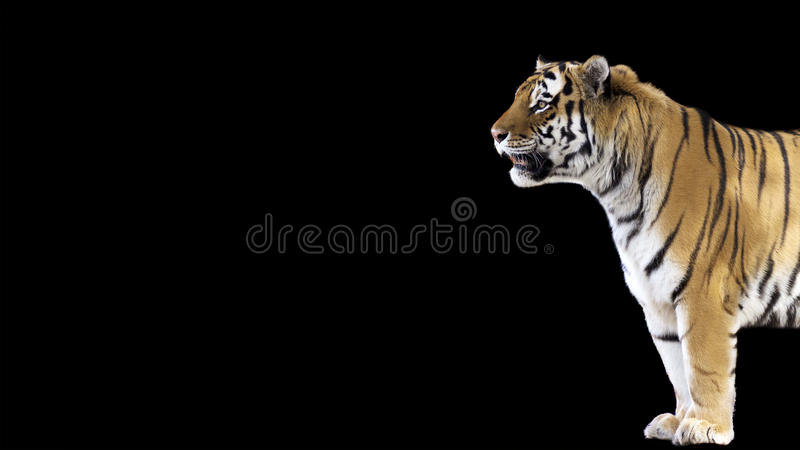 35 925 Black Tiger Photos Free Royalty Free Stock Photos From Dreamstime