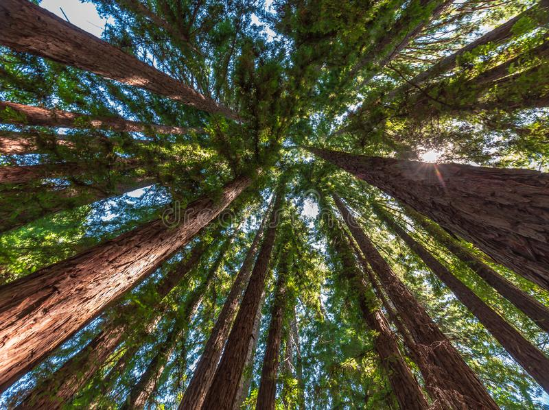 Redwood tree circle to the sky with sunlight royalty free stock image