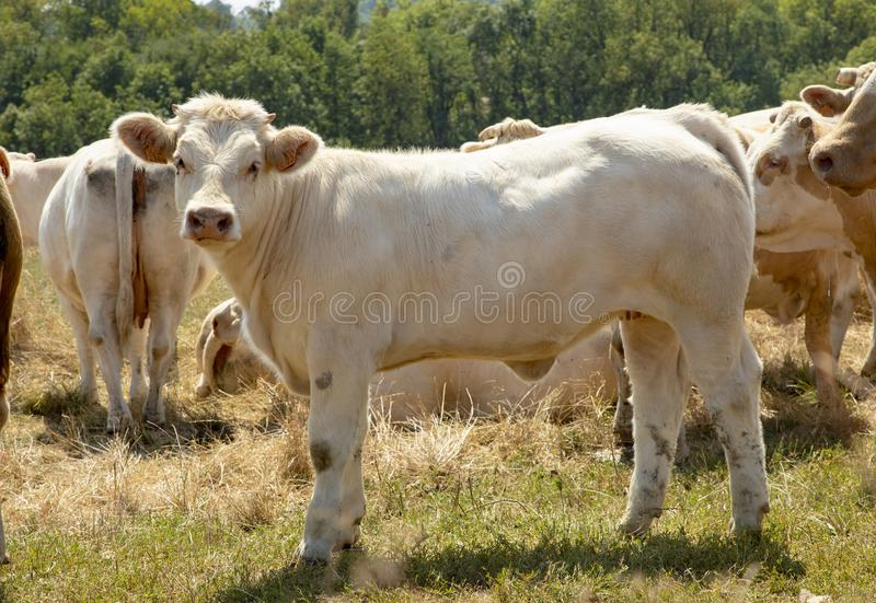 Standing white calf in a herd of cows with fluffy ears and little horns and small udder. royalty free stock photography