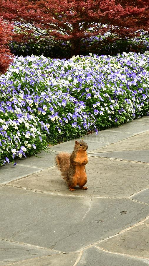 Standing wild squirrel with blooming flowers and tree background. Standing wild squirrel with blooming flowers and maple tree background royalty free stock images
