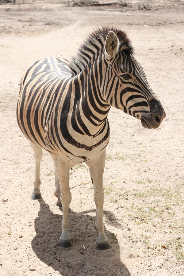 Standing Zebra Stock Photos