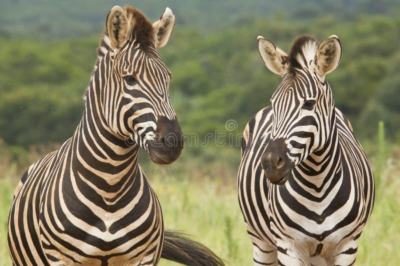 Standing Zebras Stock Images