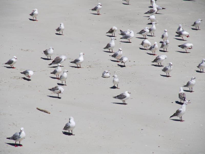 Standng de muitas gaivotas em uma praia em Nova Zelândia fotografia de stock