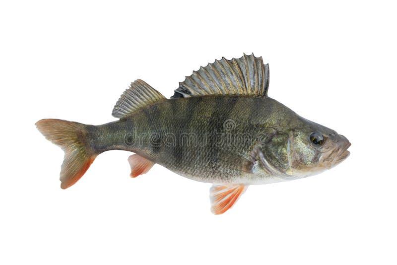 Stangenfische Livetrophäe lokalisiert auf weißem Hintergrund Perca fluviatilis stockfotografie