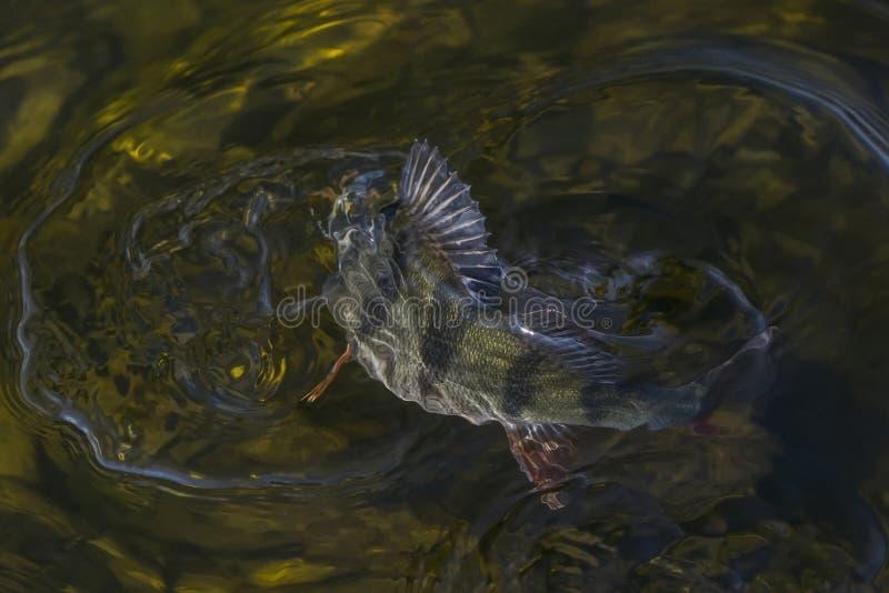 Stangenfischtroph?e im Wasser Fischenhintergrund lizenzfreies stockbild