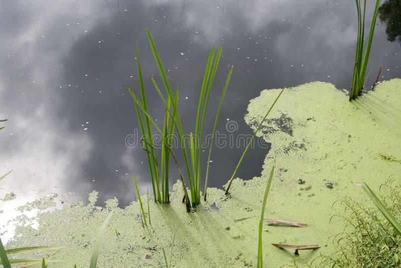 Stangnerande vatten med algblom Förorenat flodvatten royaltyfri bild