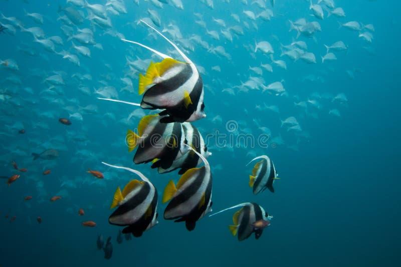 Stangret, Longfin Bannerfish pływa wpólnie/ obraz royalty free
