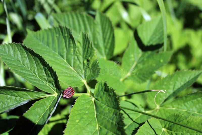Stank eller sköldfelitalienare gjorde randig felet, också som var bekant som barden på ett jordfläderväxtblad i en äng royaltyfria foton