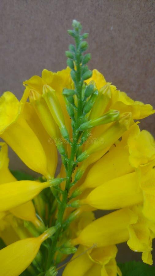 Stans de Tacoma, pessoas idosas amarelas, flores de trombeta, fotografia de stock royalty free