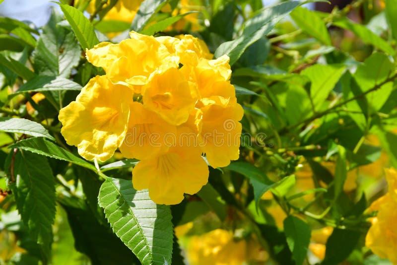Stans de Tecoma no jardim da cidade em Trivandrum ?ndia, Kerala imagens de stock royalty free