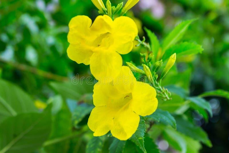 Stans de Tecoma ou flor amarela de Trumpetbush imagens de stock royalty free