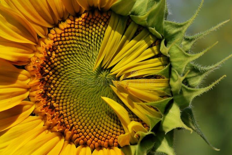 Stap van zonnebloem stock fotografie