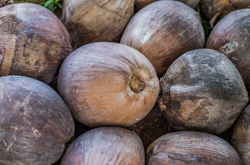Stapel der trockenen Kokosnuss im Bauernhof lizenzfreies stockbild