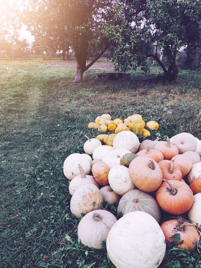 Stapel Herbstkürbise in den Garten oudoors Haupternte am sonnigen Tag lizenzfreie stockfotos