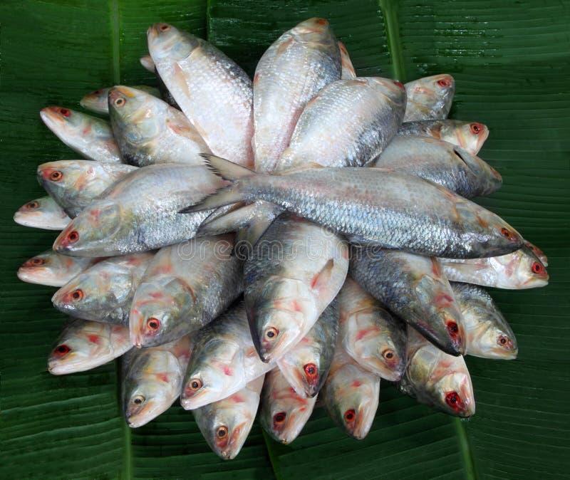 Stapel van verse Ilish-vissen van Zuidoost-Azië stock afbeelding