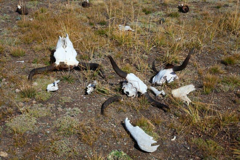 Stapel von Büffelschädeln stockfotografie