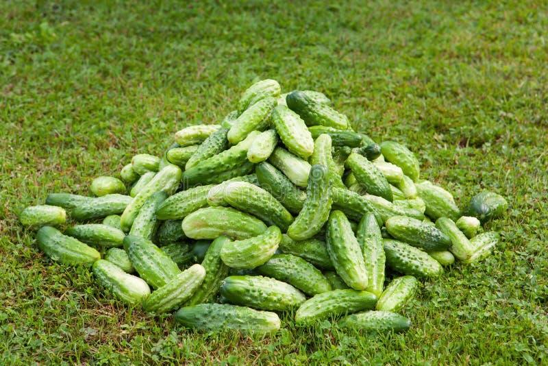 Stapel von frischen grünen Gurken stockfoto