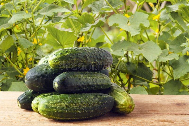 Stapel von frischen organischen Gurken auf Holztisch auf Hintergrund von Anlagen im Garten Gesundes Lebensstilkonzept stockfotografie