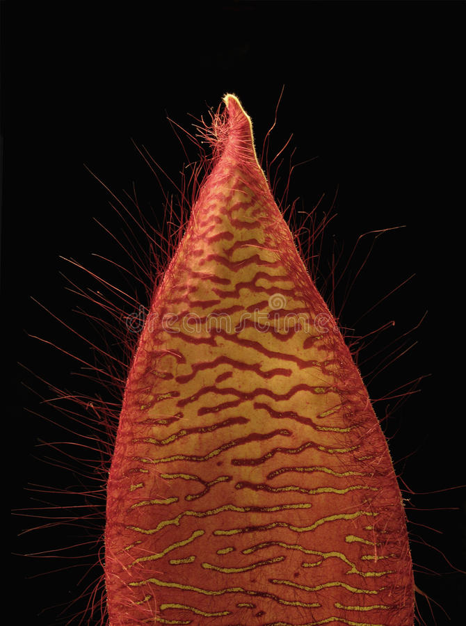 stapelia лепестка gradiflora цветка стоковые фото