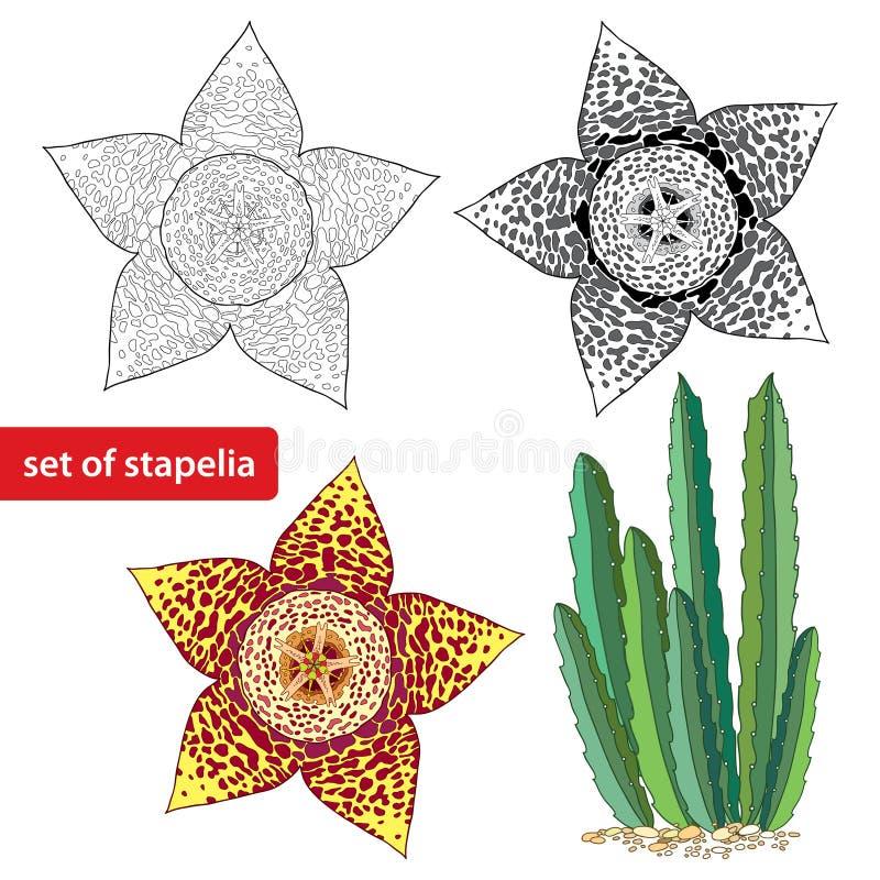 Stapelia sur le fond blanc Genre des usines culture basses de succulent de tige Série de différents succulents illustration stock