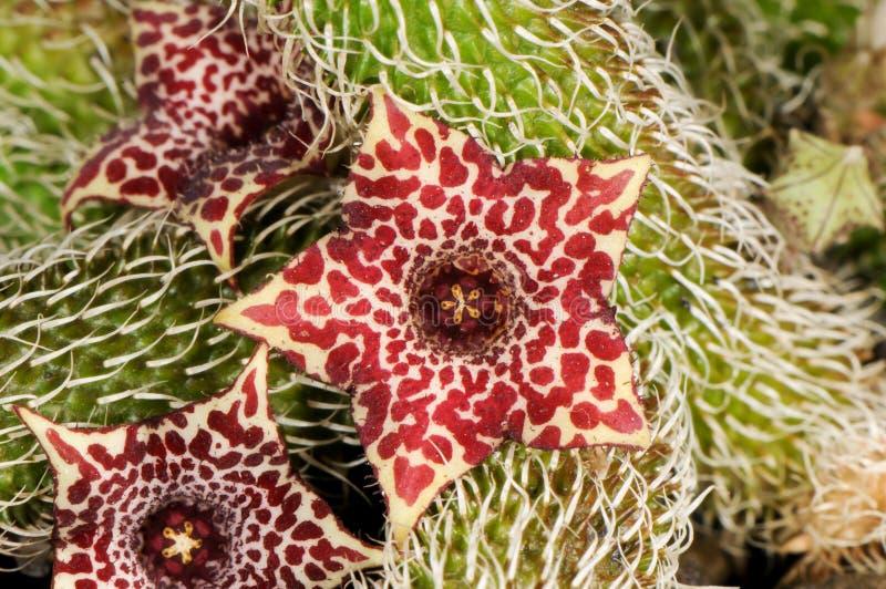 Stapelianthus pilosus fotografia royalty free