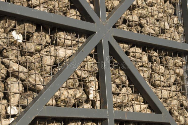 Stapelsuikerbieten achter de omheining van het netijzer van vrachtwagen of schuur royalty-vrije stock afbeelding