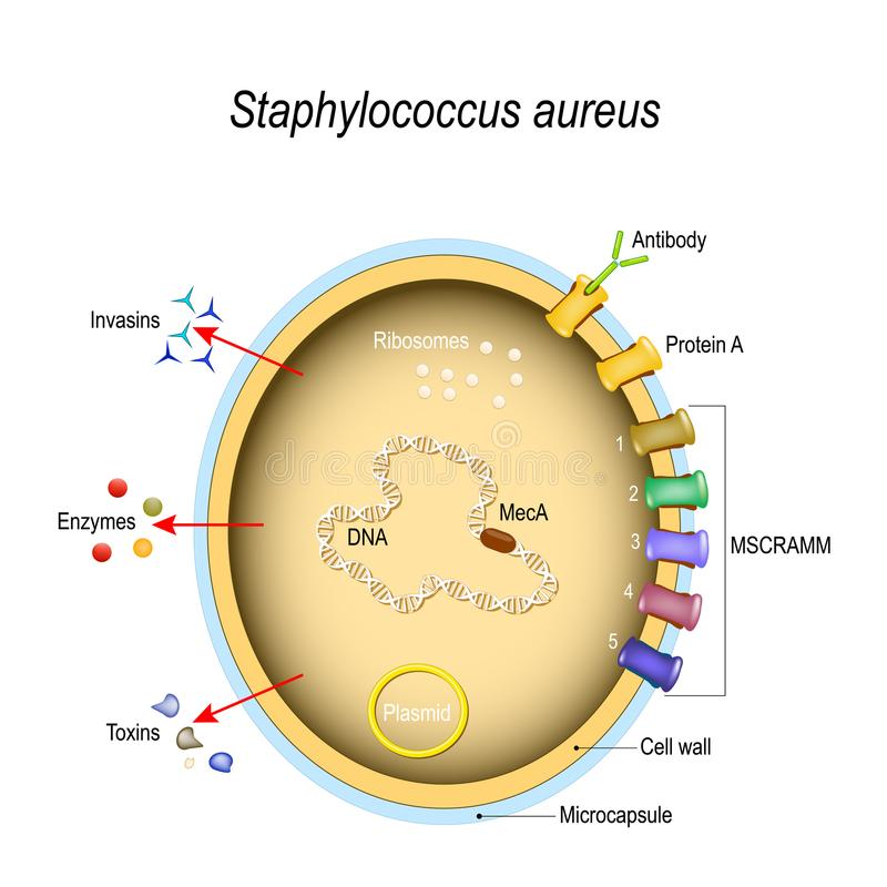 Free Staphylococcus Aureus Cell Structure And Pathogenic Factors Stock Image - 122532471