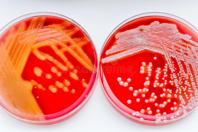 Staphylococcus aureus und Streptococcus-Pyogenes lizenzfreie stockfotos