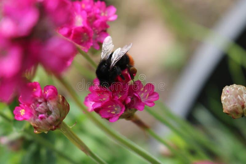 Stappla biet för att förbinda nektar royaltyfri bild