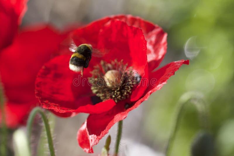 Stappla biet i flykten mot en ljus röd vallmoblomma arkivbilder
