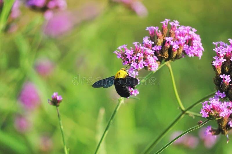 Stappla biet på blomma arkivbilder