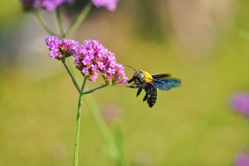 Stappla biet på blomma royaltyfri bild