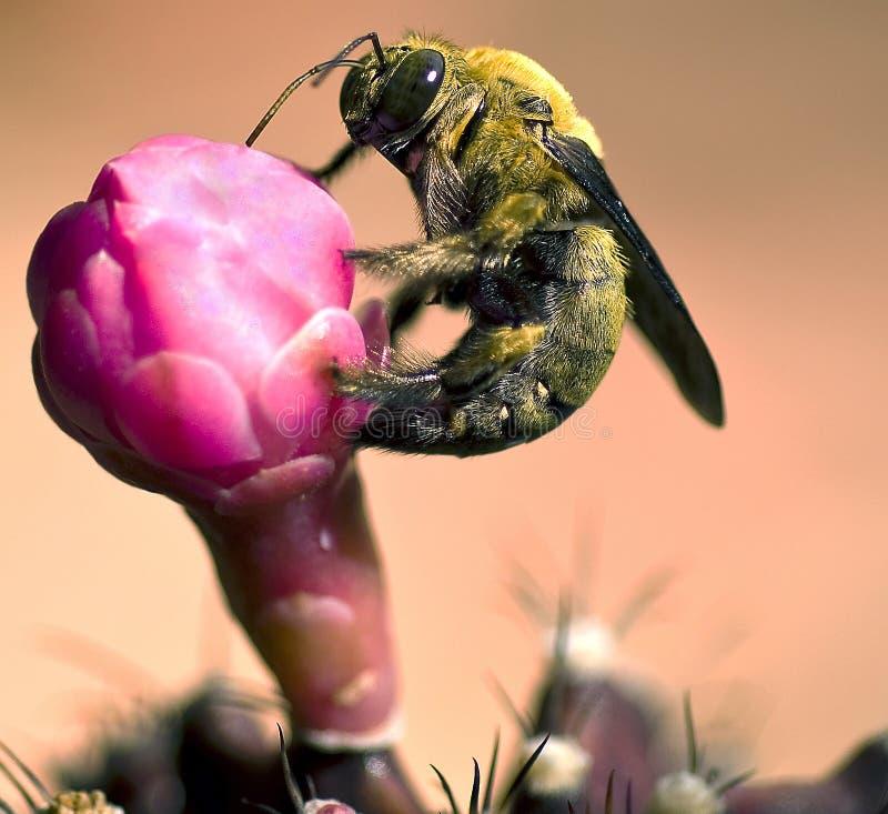 Stappla biet på blomma arkivfoton