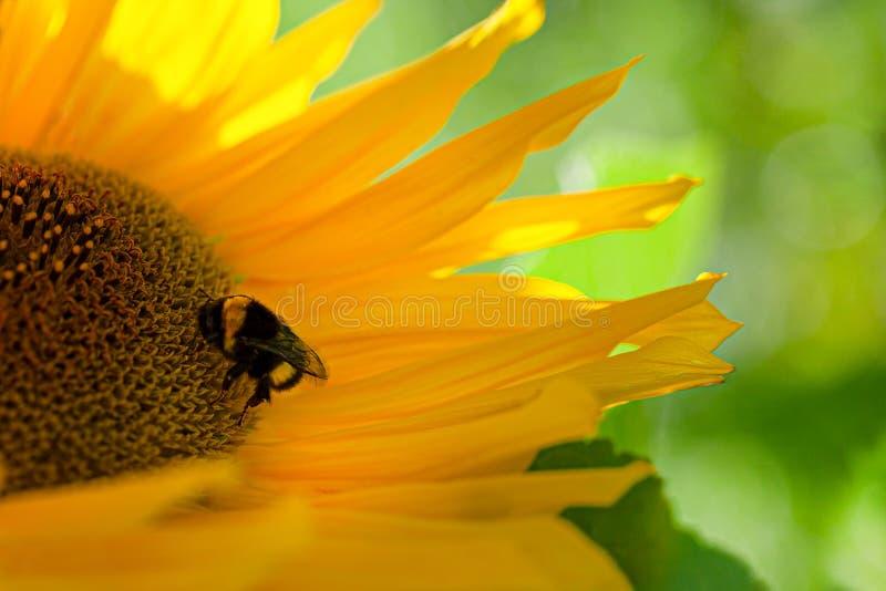 Stappla biet på den stora gula solrosen royaltyfri fotografi