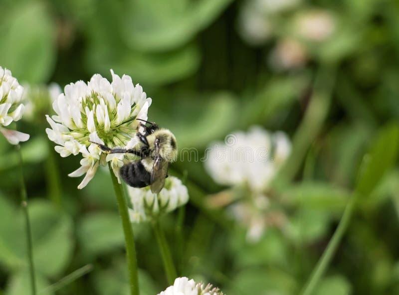 Stappla biet på en växt av släktet Trifoliumblomma fotografering för bildbyråer