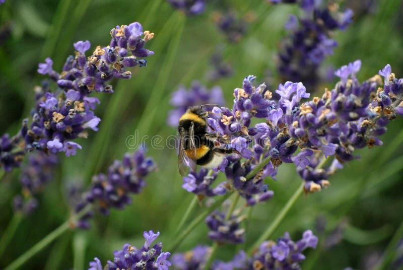 Stappla biet på lavendelbusken royaltyfri fotografi