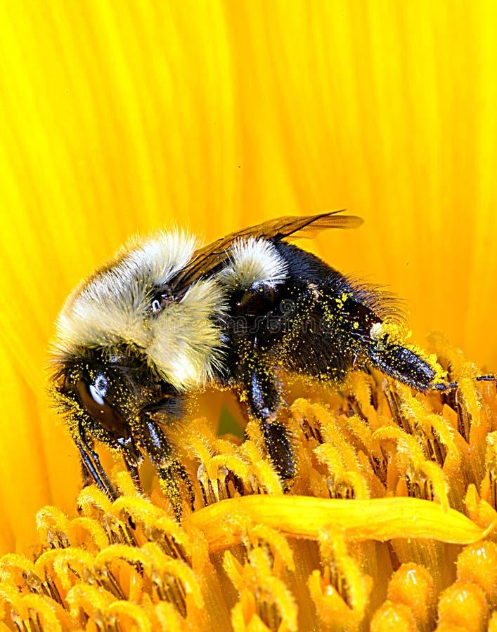 Stappla biet på solrosen royaltyfria bilder
