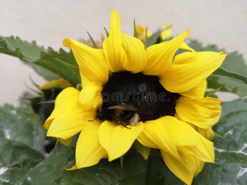 Stappla biet p? en solros arkivfoto