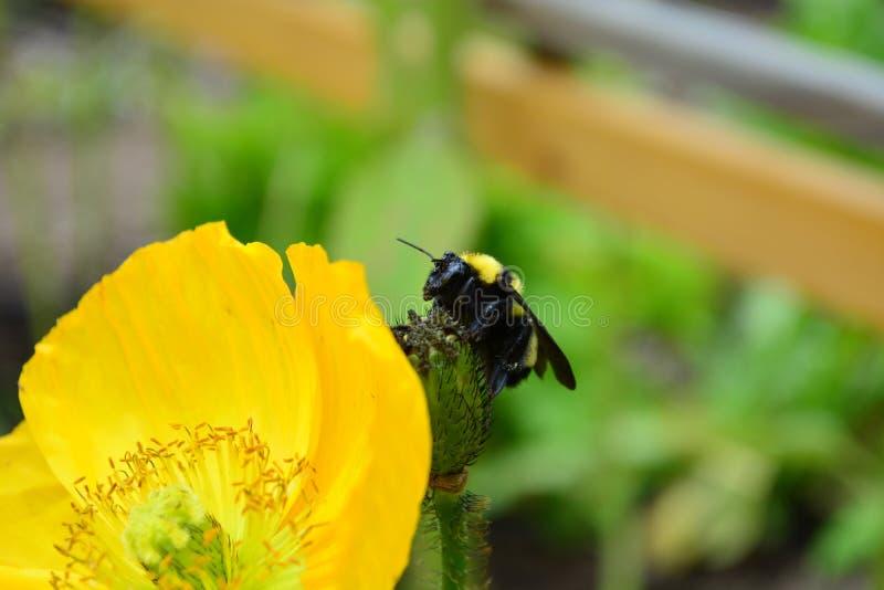 Stappla biet som överst sitter av den spenderade vallmoblomman i trädgård arkivfoton
