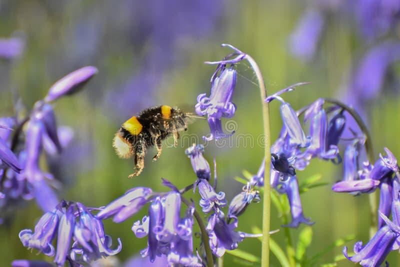 Stappla biet som pollinerar blåklockor royaltyfri fotografi