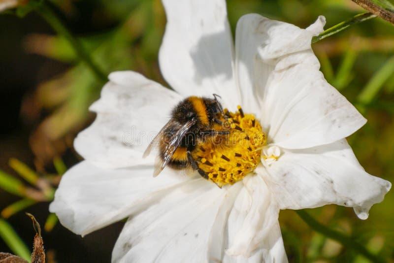 Stappla biet som samlar pollen från en vit- och gulingblomma i sommaren arkivfoto