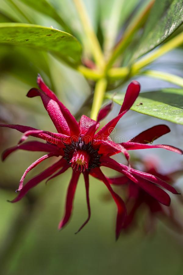 Florida anise blossom, Illicium floridanum stock photos