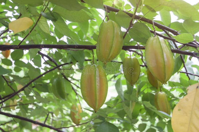 Star Apple Fruit or Carambola on the tree in the garden. royalty free stock photos