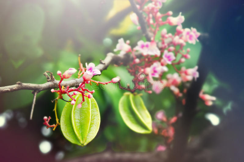 Star apple fruit hanging with flower on the tree with light effect royalty free stock image