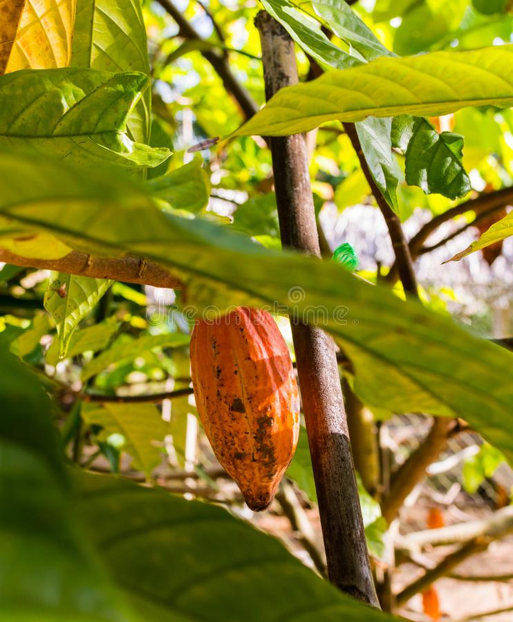 Star apple fruit on the tree ,in thailand. royalty free stock images