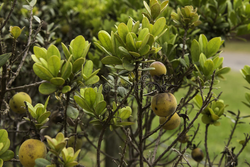 Star Apple plant fynbos stock photos