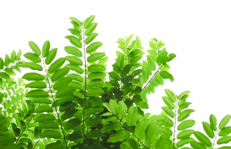 Star as folhas do verde do Gooseberry e isolado no branco imagens de stock royalty free